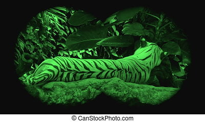 Wild endangered big tiger , viewed through night vision