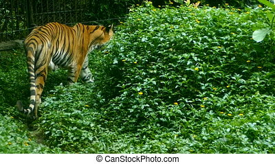 big tiger walking near grass - Wild endangered big tiger...