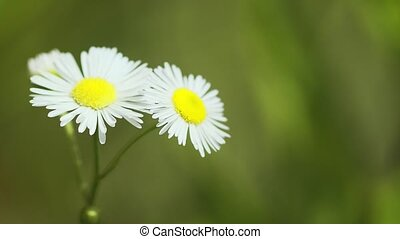 Closeup of the white petals and yellow centers of clustered Erigeron wildflowers in their natural environment, swaying in a gentle breeze. FullHD footage