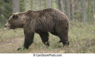 wild european brown bear