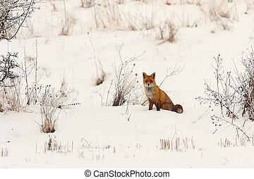 wild european red fox in snow