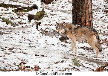 Wild European wolf