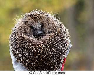 Wild Eurpean Hedgehog, Erinaceus europaeus, curled up in a hand with gloves on