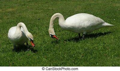 Wild fat swan feeding close to lake bank. White wild swan