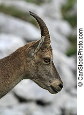 Wild female alpine ibex - steinbock portrait