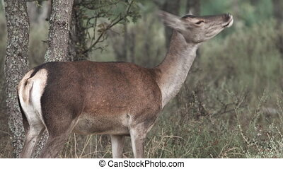 Wild female deer moving head and ears - Profile of wild...