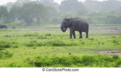 Wild, Female Elephant in Sri Lankan National Park - Lone,...