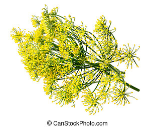 Wild fennel flowers isolated on white background