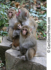 Feral Rhesus Monkeys Living in China - Wild Feral Rhesus...