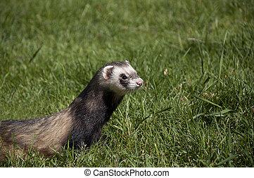 ferret walking in the grass - wild ferret walking in the...