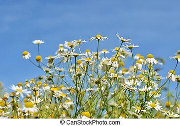 Wild field daisies