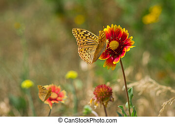 Wild field with feral Indian blanket flowers and butterflies.
