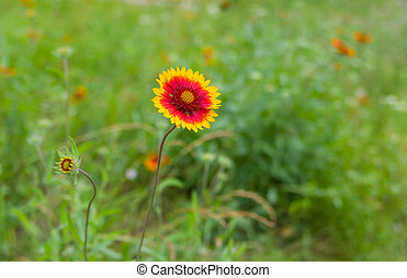 Wild field with Indian blanket flowers closeup