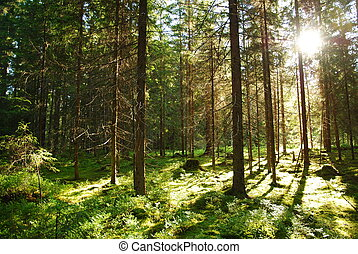Wild fir forest at sunrise in the sunlight of the rising sun