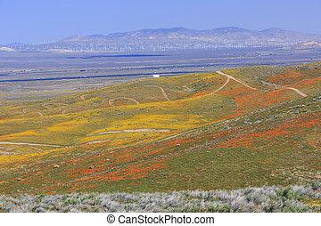 Wild flowers (Poppy) at Antelope Valley, California