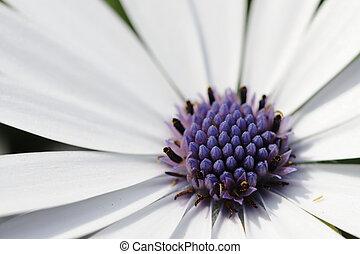 wild flower - closeup for wild daisy