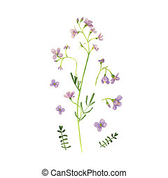 Wild flower drawing watercolor on white. Cardamine pratensis...