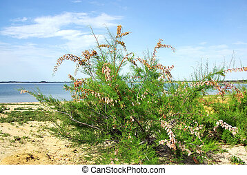 wild flower on sand near alqueva lake, Portugal