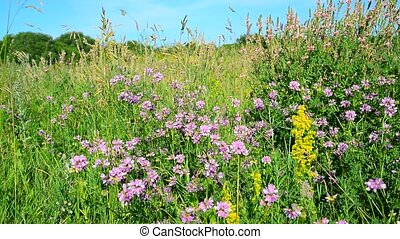 Wild flowering meadow in central strip of Russia - Wild...