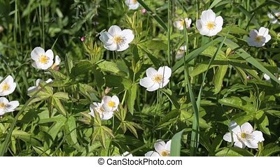 Wild flowering plant Anemone forest (Anemone silvestris) in...
