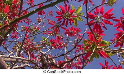 Wild flowering poinsettia - Wild red flowering poinsettia...
