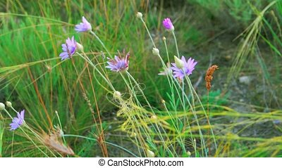 Wild flowers and feather-grass flicker in the wind, wild...