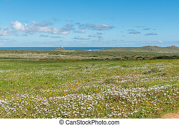 Wild flowers at Postberg near Langebaan on the Atlantic coast