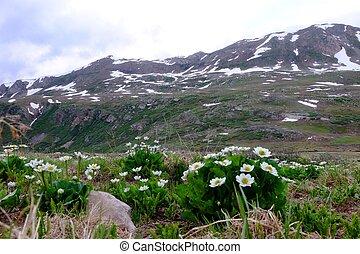Wild flowers in alpine meadows.