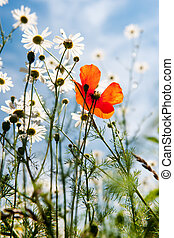 Wild flowers with daisies and red poppies