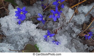 Wild flowers in the forest appear from under the snow. time-lapse