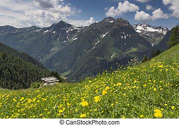 Wild flowers in the Italian alps