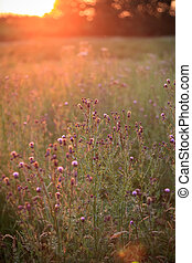 wild flowers in the setting sun