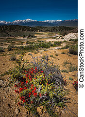 Wild Flowers near California Hot Springs Bridgeport CA USA...