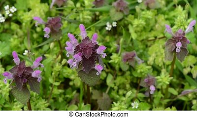 wild flowers of a large flowered selfheal. Prunella...