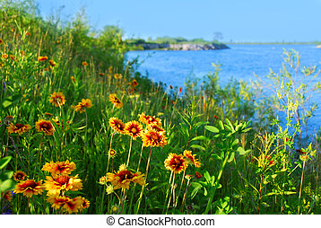 Wild flowers indian blankets blooming on sea shore