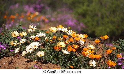 Wild flowers - South Africa - Brightly colored wild flowers...