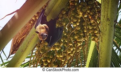 Wild Flying Fox Hanging from Palm Tree in the Maldives -...