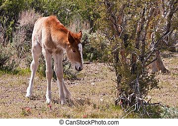 Wild Foal In Nevada Desert