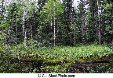 Wild forest in west Siberia. - Wild, swampy forest in west...