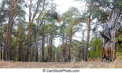 wild forest landscape nature pine roots dry - wild forest...