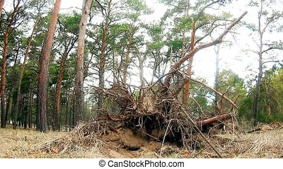 wild forest pine landscape nature dry roots - wild forest...