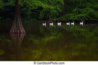 wild, gänse, in, der, see, umgeben, per, schöne , grüne bäume, und, f