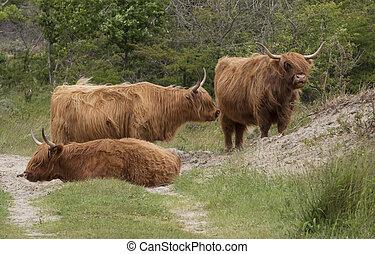 wild galloways animals in the wild dunes of netherlands