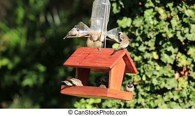 Wild garden birds feeding