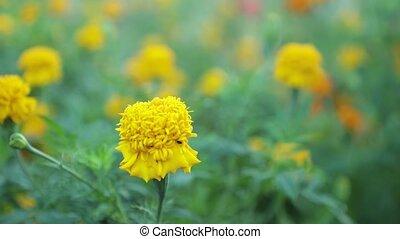 Wild Garden Marigolds High Definition Movie Footage -...