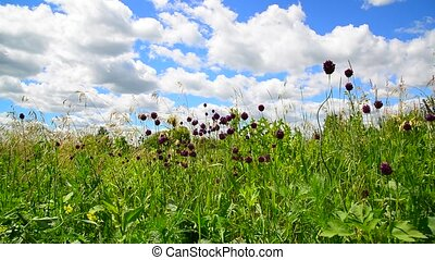Wild garlic flowers against beautiful sky - Wild garlic...