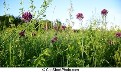 Wild garlic - A Wild garlic swaying in the breeze
