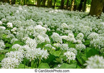 wild garlic meadow