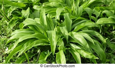 Wild garlic, fresh plant of the spring, vegetable and...