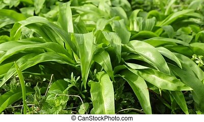 Wild garlic - wild garlic, medicine and salad